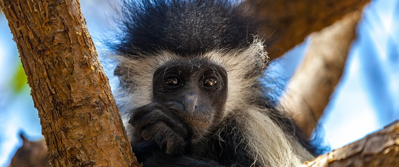 Colobus monkeys living in Kenyan South Coast