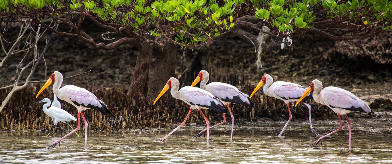 Mangrove birds around Chale Island
